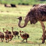 Масло эму: чудесные свойства страусиного жира